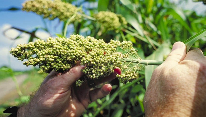 Čirok – záchrana krmivové základny!